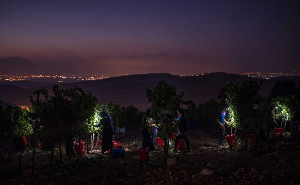 Why are grapes picked at night? - Ask Decanter