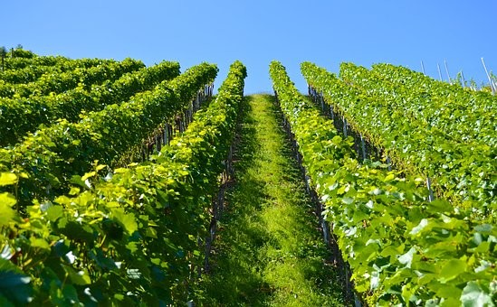 Biodynamics in Champagne - Ask Decanter