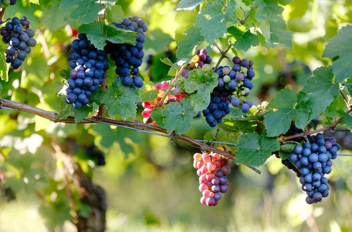 Permitted Champagne grapes - Ask Decanter