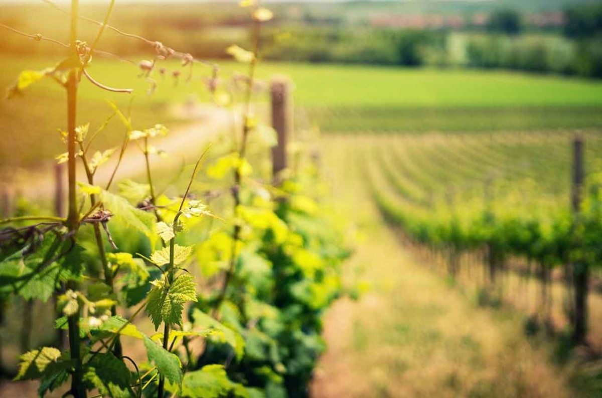 Do rootstocks affect the flavour of wine? - Ask Decanter