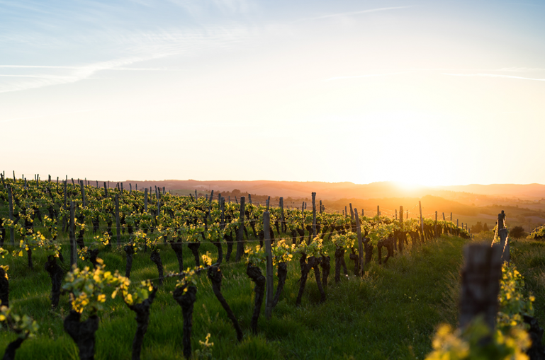 How do winemakers combat heatwaves? - Ask Decanter