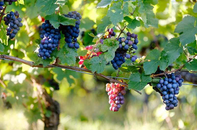 What is a noble grape? - Ask Decanter