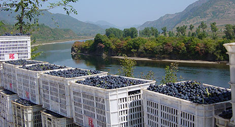 The history of Chinese winegrowing and winemaking - part 2
