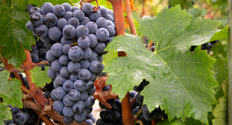 Cabernet Franc (red)