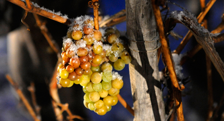 The making of Ice wine