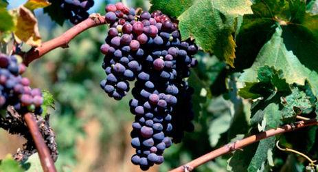 South Africa climate and grape varieties