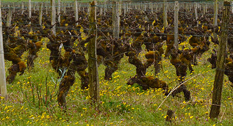 Bordeaux 2014: First impression - Sauternes savours a 'unique' vintage