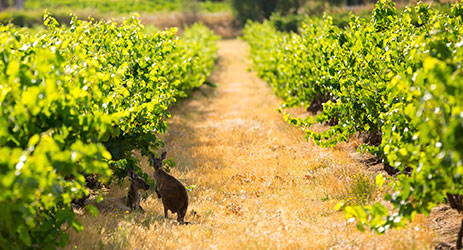 The world's oldest vines in Australia's Barossa Valley