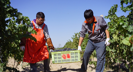 Ningxia 2015 wine harvest: September rain causes uncertainty